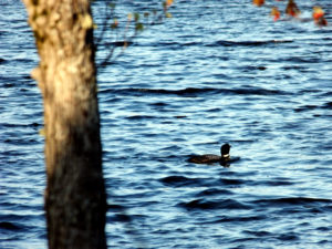 maine lake loons