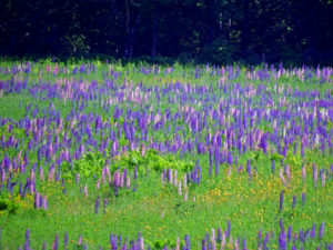 maine field of lupines