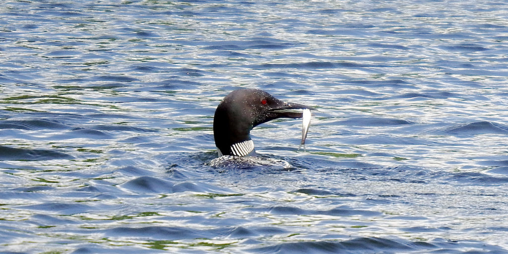 maine lake loon with fish