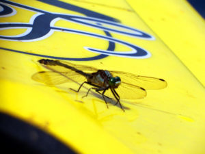 maine lake kayak dragon fly