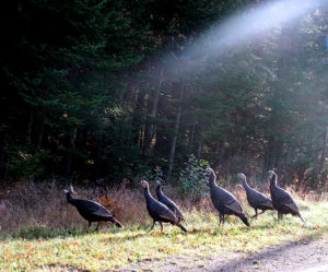 maine turkeys