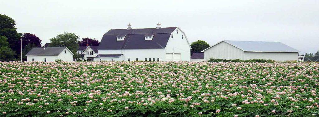 maine-potato-farm