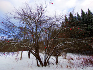 maine frozen apple tree photo