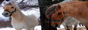 Horses in Winter in Maine