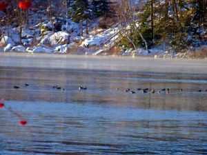 Birds Flating On A Cold Maine Lake.