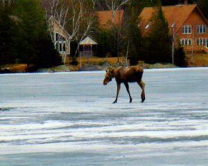 maine moose on lake ice