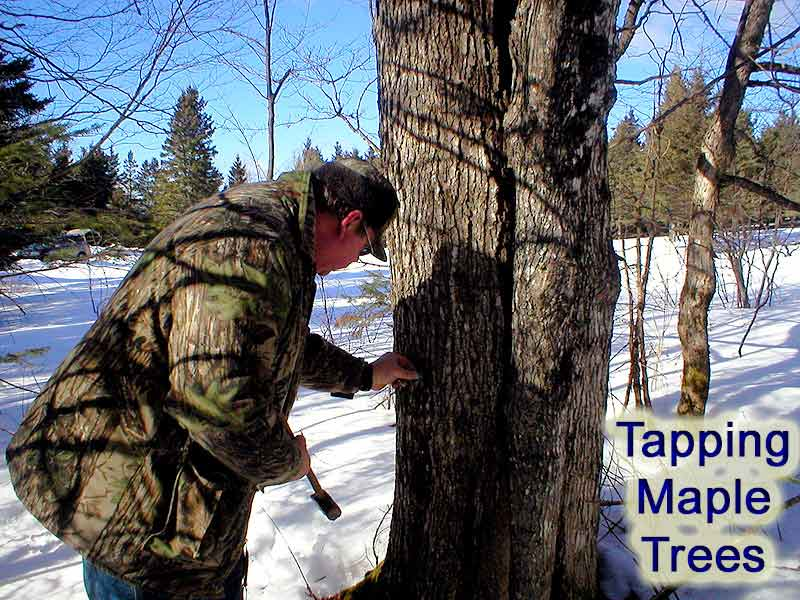 tapping sap maine maple syrup