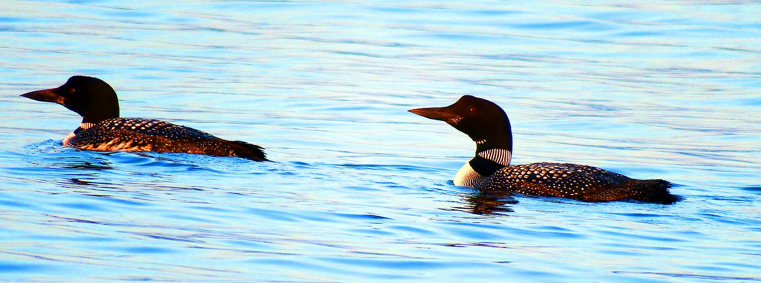 maine loons not social distancing