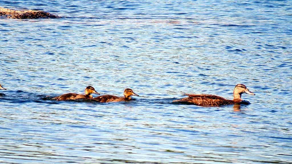 wildlife entertain on maine lake