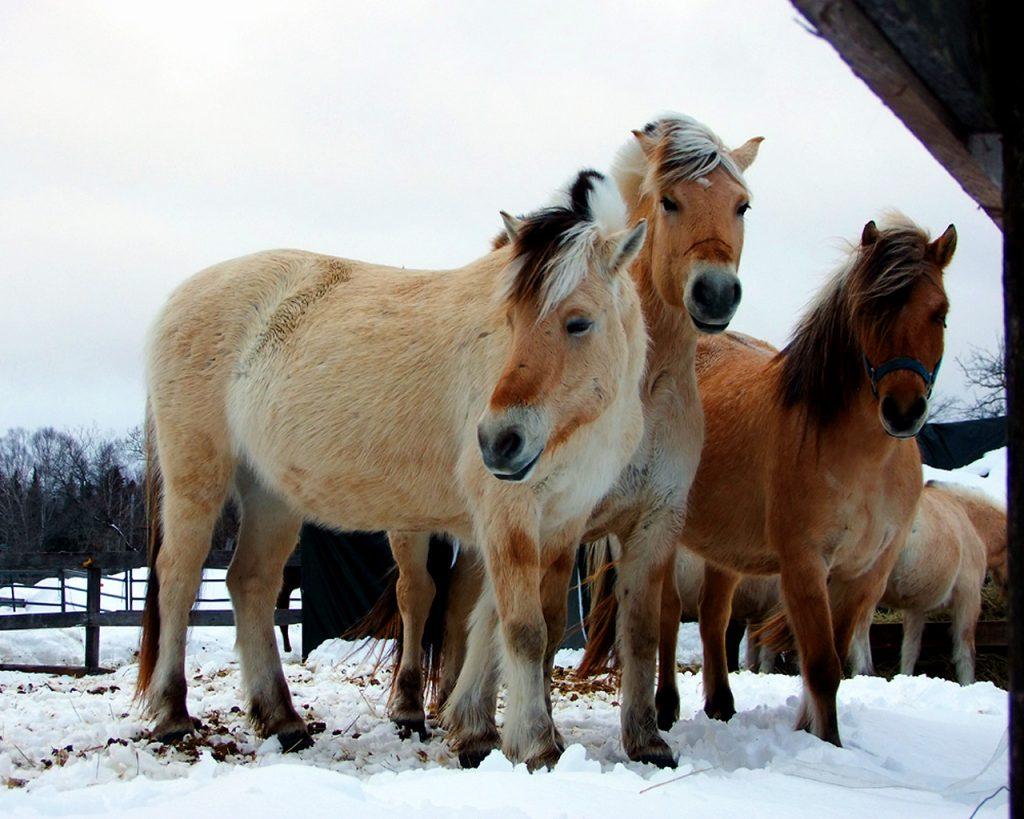 maine farm horses