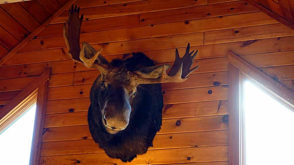 maine moose head