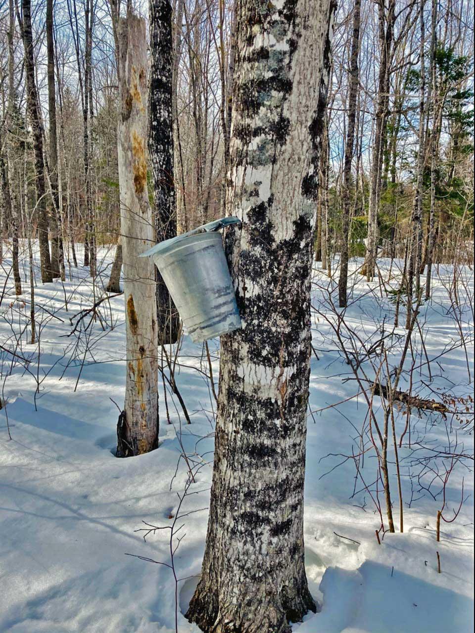maine maple tree sap bucket
