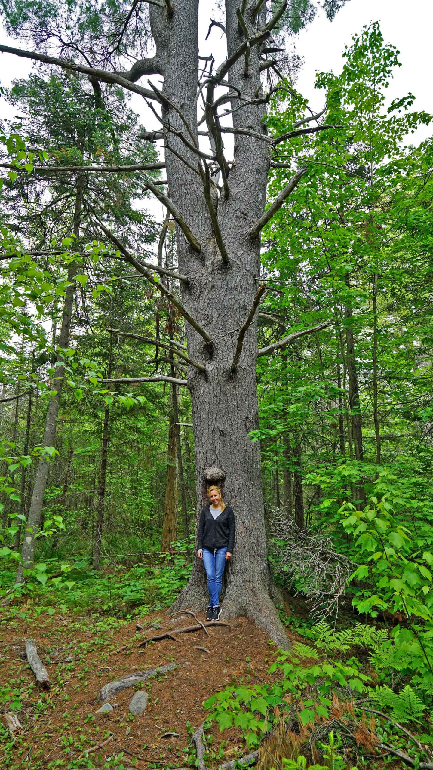 tall pine tree orono bog