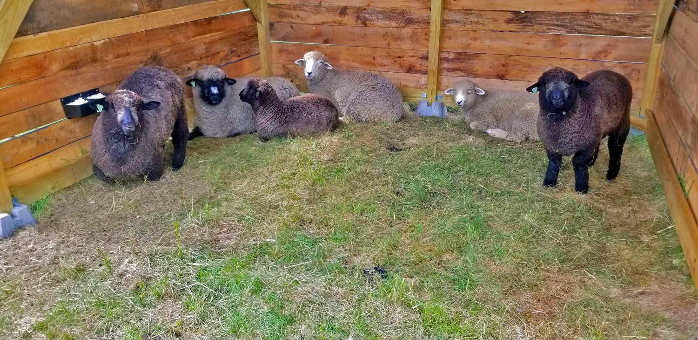 sheep maine farm