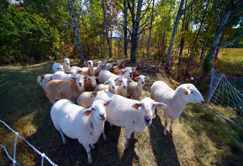 maine farm sheep pen